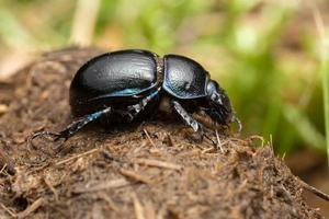 Dor-beetle on dung photo