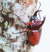Scarab beetle photo