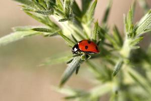 Ladybird on Gorse. Adobe RGB.