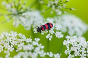 Red and black beetle on white blossom photo