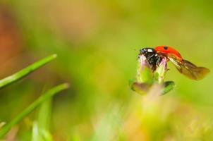 Ladybug. photo