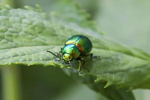 Emerald beetle photo