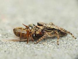 araña atrapada hormiga