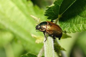 escarabajo anomala dubia