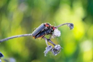 emparejamiento escarabajo soldado