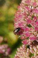 Golden ladybug on pink flowers (Calligrapha multipunctata) photo