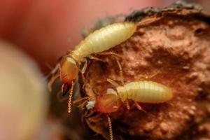 macro de termitas foto