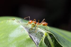 hormiga sola foto