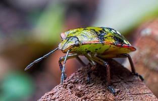 Southern green stink bug, Nezara viridula