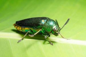 hermosa joya escarabajo o metalizado de madera (buprestid) en hoja verde.