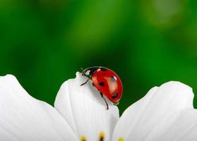Ladybug and flower