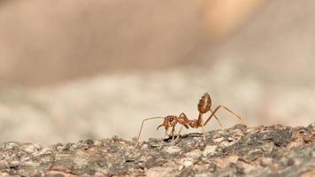 hormiga roja.