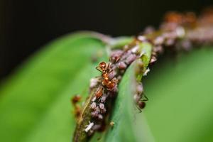 formigas vermelhas em uma folha verde