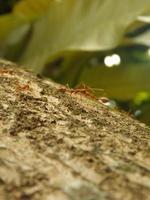 hormigas tejedoras foto