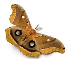 Polyphemus Moth photo