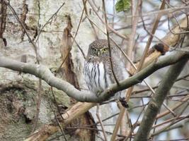 Northern Pygmy Owl on a branch photo