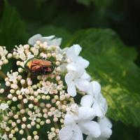 Viburnum beetle and firefly