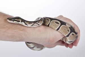 Ball Python on the hand with white background photo