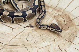 serpiente pitón real en un tocón foto