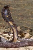Snake-Pakastani cobra photo