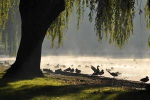 Backlit ducks