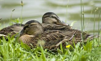 sleeping ducks photo
