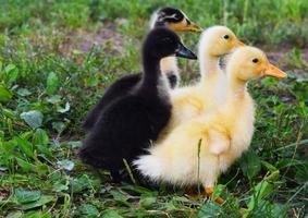 Farm Ducklings