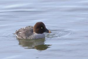 Female Common Goldeneye, Bucephala clangula