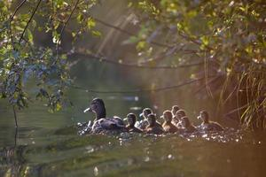 Duck and ducklings under leaves.