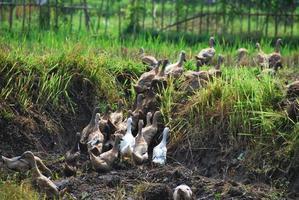 granja de patos orgánicos foto