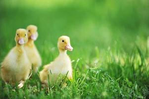 Three fluffy ducklings in the grass