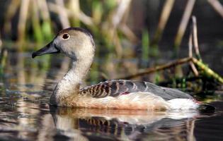 Duck at lake