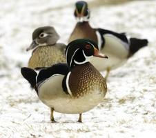 Wood Duck in Snow