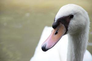 pato blanco foto