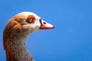 Duck / Pato photo
