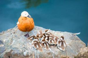 duck with little ducklings nesting on a large stone