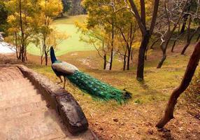 caminar pavo real foto