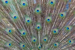 eye peafowl