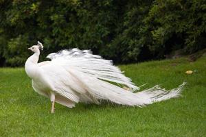 White peacock stands with closed tail on Borromean island