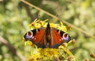 mariposa de pavo real (inachis io) en una planta de margarita foto