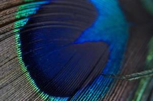 pluma abstracta pavo echt