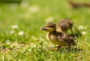 little duckling photo