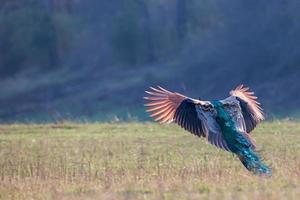 pavão em voo