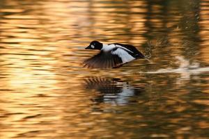 despegue de goldeneye en el estanque dorado temprano en la mañana