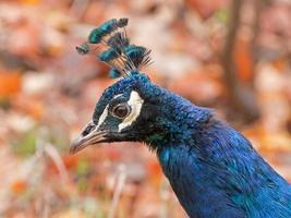 Cerrar perfil de pavo real foto