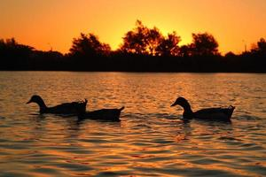 ducks swiming lake sunset photo
