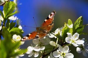 mariposa pavo real foto