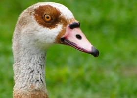 Head of Egyptian Goose