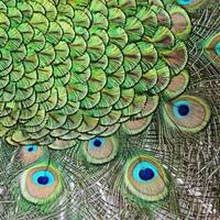 male Green Peafowl feathers photo