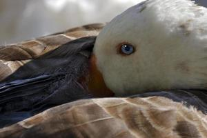 grey duck whit blue eye